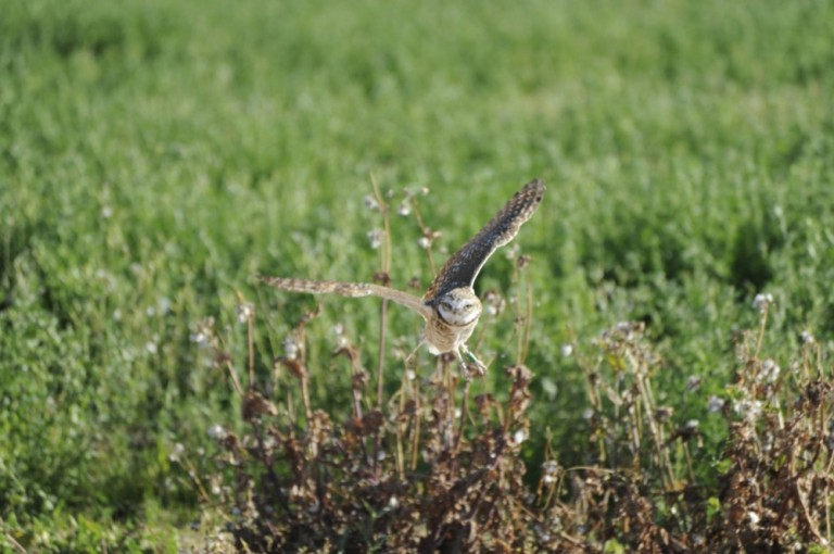 24-Burrowing_Owl_in_Flight