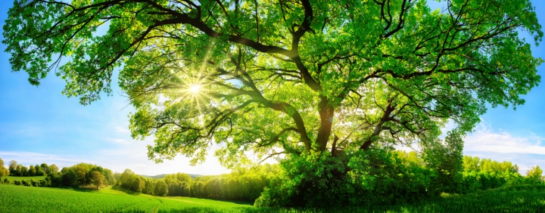 The sun shining through a majestic oak tree